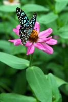 Blue Butterfly on Pink Flower 2 by PanisEtCircense