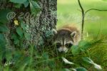 Racoon Cub by SteelCowboy