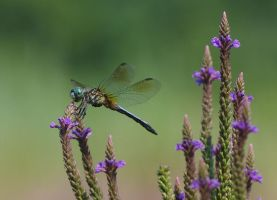 Blue Dasher by barcon53