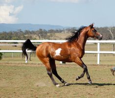GE arab pinto starting to stop canter side view by Chunga-Stock