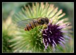 Hover Fly - Macro by DuelMonster