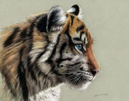 Colored Pencil Drawing of Tiger Cub by JasminaSusak