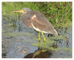 Tricolored Heron by ladyhawk21