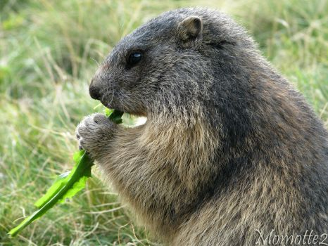 Hungry baby marmot by Momotte2