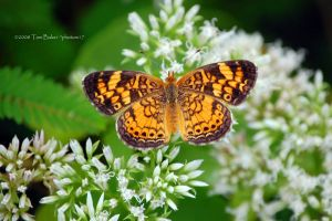 pearl crescent by photom17