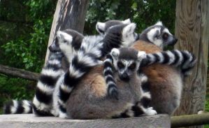 Ball of Lemurs by ambergerr