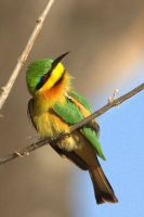 Little Bee-Eater by lenslady