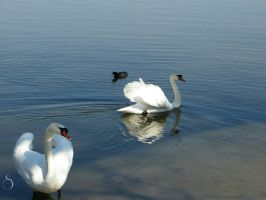 Two Swans and a Duck by SelenophiIe