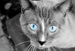 Blue Eyed Cat by funerals0ng