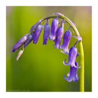 The Bluebell by JakeSpain