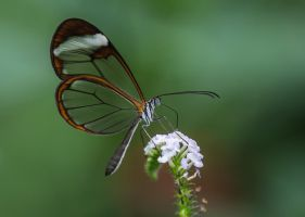 Butterfly Stock 23 by NellyGrace3103