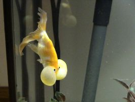 Bubble-Eye Goldfish 2 by LBTCStock