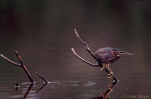 Green Heron by RandyHughes