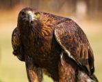 eagle_XIX by deoroller