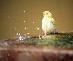 Canary bathing by Tarjina