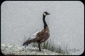 Snow Covered Goose by StephGabler