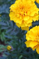 Yellow Flowers by CrossFade1105