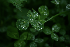 Drops on clovers by Dittibu