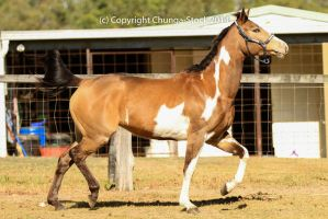 VR Pinto trot side view head up by Chunga-Stock