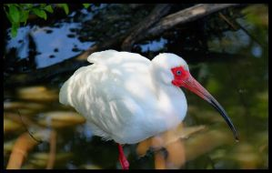 White Ibis at Lafrienier Park by SalemCat