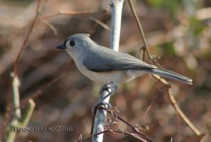 Tufted Titmouse II by desmo100