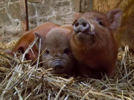 piglets at the petting zoo by harrietbaxter