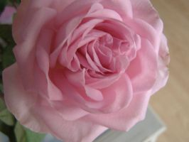 Roses  064 by 3pinkrosegardens