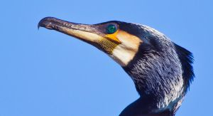Cormorant Close-up by AngelaLouwe