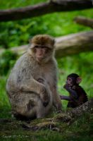 Baby Macaque with family by AstarothSquirrel