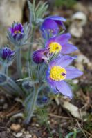 Pasqueflowers by Quit007