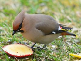 Bohemian Waxwing by nordfold