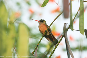 cinnamon hummingbird by wildroseblossom
