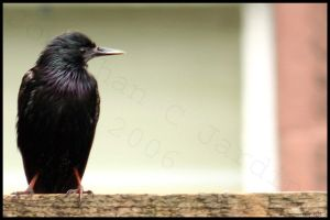 bird on the fence by JJPhotography
