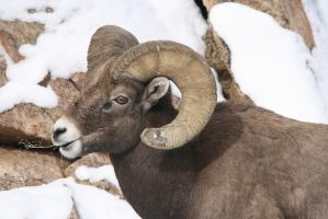 King of the Country: Big Horn Sheep by Shadow848327