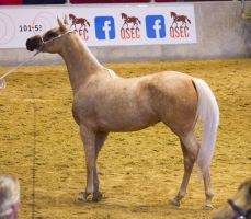 STOCK - Arabian Gala 2013 -26 by fillyrox