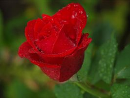 Rainy Red Rose 02 by botanystock
