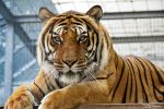 Siberian Tiger at a Big Cat Shelter by Kiara-Vestigium