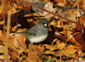 Forest Floor Junco by natureguy