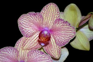 Orchid by Larah88