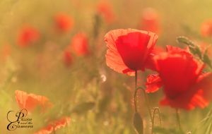 Poppies by PassionAndTheCamera