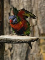 Swainson's Lorikeet 02 by animalphotos