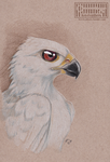 White Goshawk by Key-Feathers