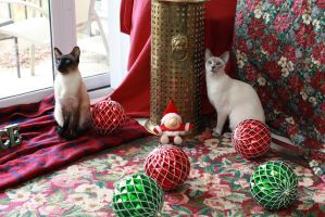 Siamese Cats by photoboater