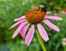 Bee and Cornflower by captainslack