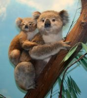 Denver Museum Koala Bear 367 by Falln-Stock