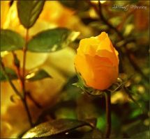 A rose for Erika by ShlomitMessica