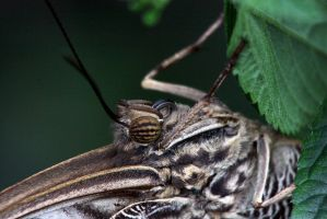 Owl Butterfly Close Up by papatheo