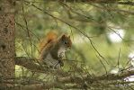 Red Squirrel by lenslady