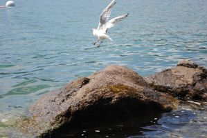 a seagull by TheNiceCharlie