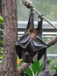 Animals 127 flying fox by Dreamcatcher-stock